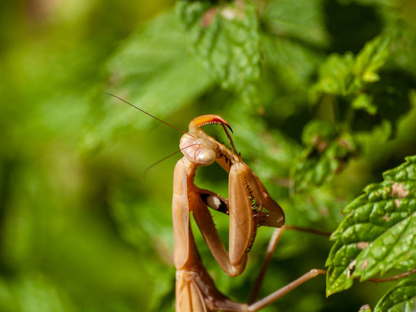 Dangerous Animals European Mantis Nature Waiting Wildlife & Nature Animal Animal Antenna Animal Body Part Animal Themes Animal Wildlife Animals In The Wild Beauty In Nature Biodiversity Close-up Danger Day Entomology Environment Focus On Foreground Green Color Growth Insect Invertebrate Leaf Mantis Nature No People One Animal Outdoors Plant Plant Part Praying Mantis Predator Predator Instinct Wild Wildlife