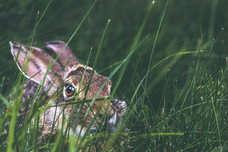 Close-up portrait of rabbit on grassy field