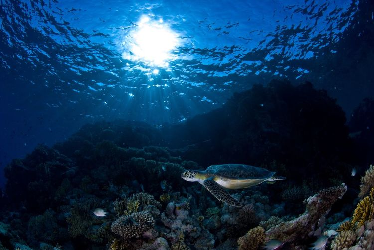 View of turtle swimming against corals