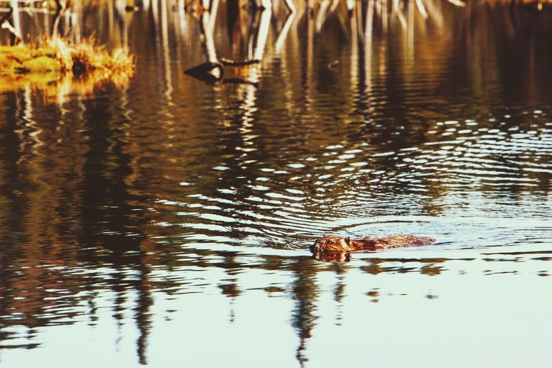 Hello Mr Beaver ! Reflection Water Animals In The Wild Nature Swimming Lake Animal Wildlife One Animal Animal Themes Mammal Beaver Wood Canon Wildlife Photography Wildlife Ripples In The Water Fall Automn Outdoors Underwater Swimwear Pool Trekking Hike