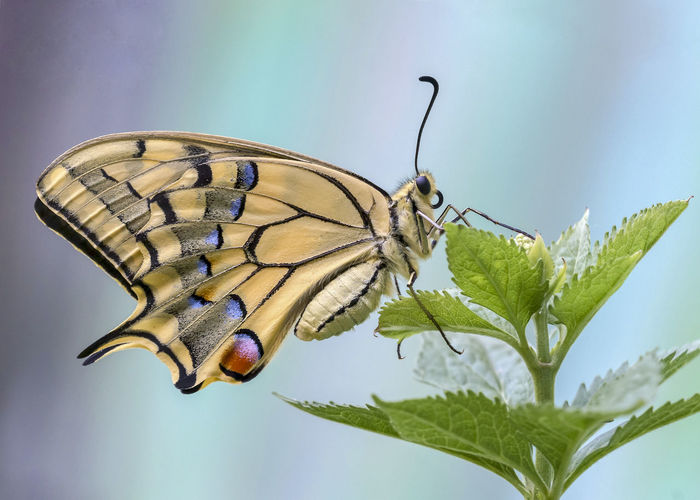 Papilio Machaon Animal Animal Themes Animal Wildlife Animal Wing Animals In The Wild Beauty In Nature Butterfly Butterfly - Insect Close-up Insect Invertebrate Macaone Nature No People
