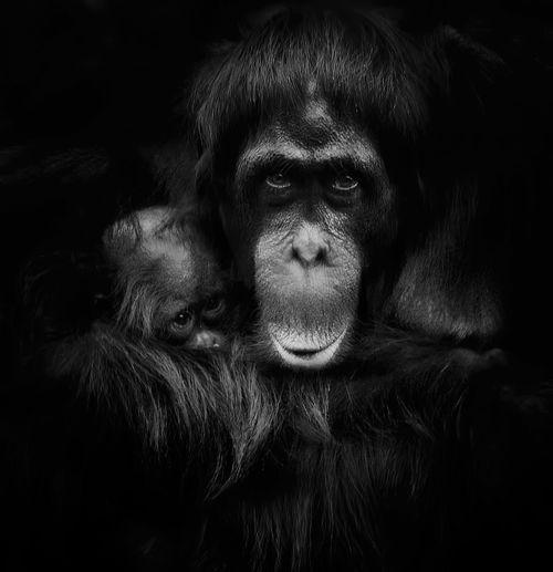 Female orang utan and baby