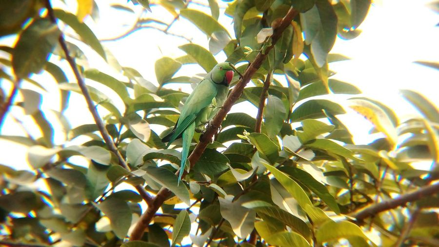 Parrot.. Bird Bird Watching Bird Photography Animal India Camouflage Guava Tree Parrot Indian Ring Necked Parrot Growth Leaf Tree Plant Branch Nature Green Color Agriculture No People Day Outdoors Beauty In Nature Close-up Food Freshness