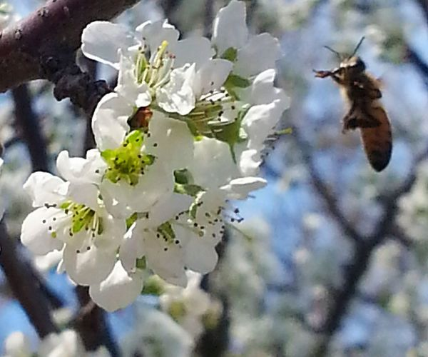 Bees And Flowers Bee 🐝 Bee Honey Bee Flowers, Nature And Beauty Flowers Flower Collection Nature_collection Nature Photography Naturelovers Spring Has Arrived Spring Flowers Pollinators Pollination
