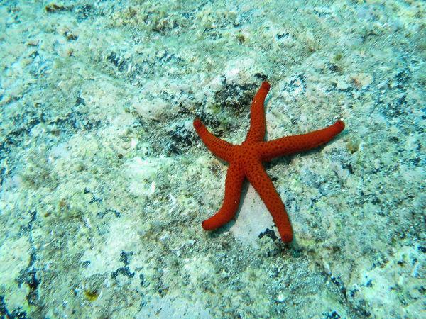 Animal Wildlife Aquatic Life Beauty In Nature Red Starfish Sea Seabed Starfish  Underwater Urban