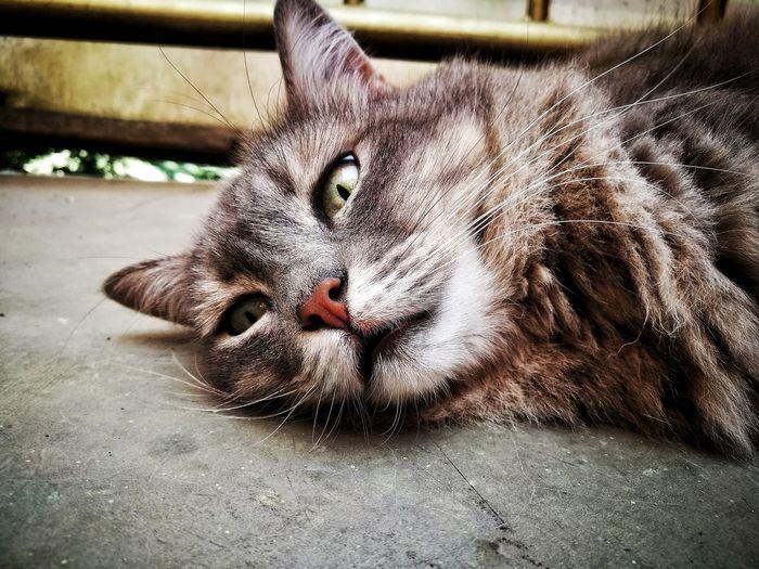 Feline Domestic Animals Mamagato Migatomodelo Gato Cat Cats Pets Domestic Cat