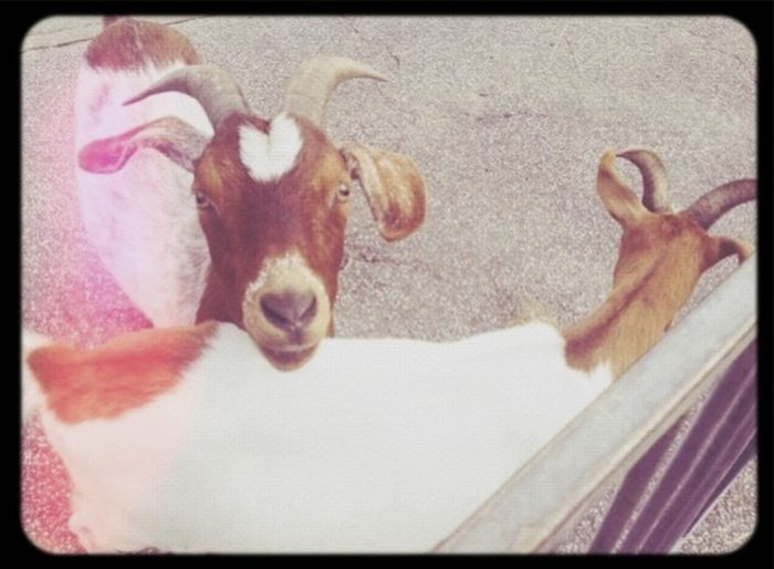 They Looks So Sweet ❤️❤️❤️ Taking Photos Cirkus Goats ❤️