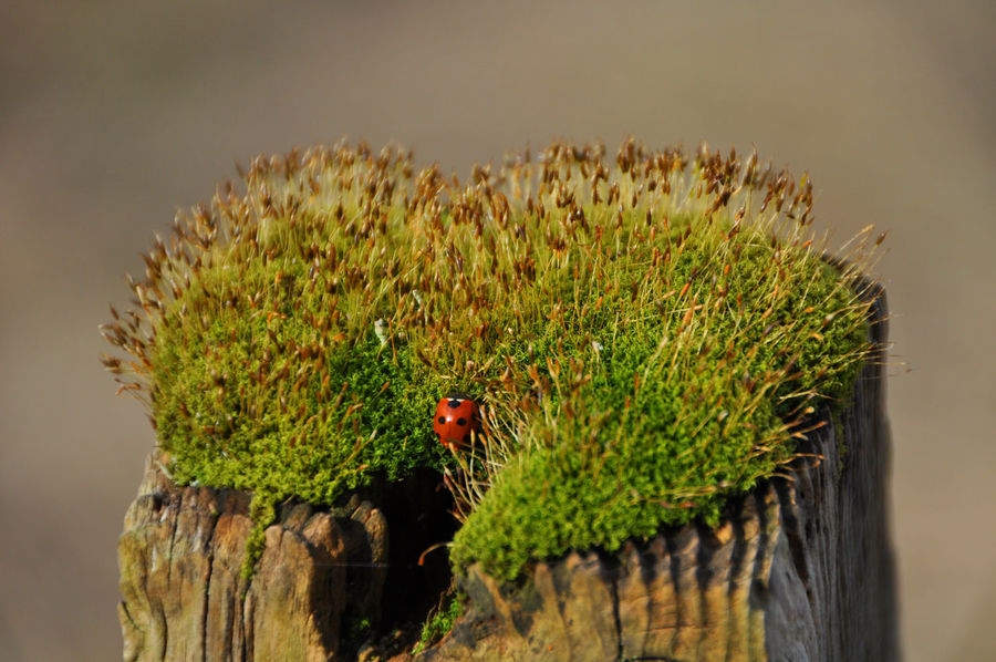 Moss and Ladybird on top of a fence post in Bangour hospital Beauty In Nature Botany Close-up Day Fence Posts Focus On Foreground Green Green Color Growing Growth Insect Insects  Ladybird Ladybirds Ladybirds 🐞 Moss Mossporn Nature No People Outdoors Plant Selective Focus Tranquility The Great Outdoors - 2016 EyeEm Awards