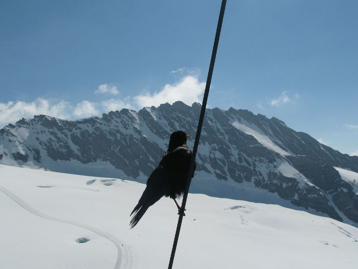 Bird Perching On Rope Against Jungfrau