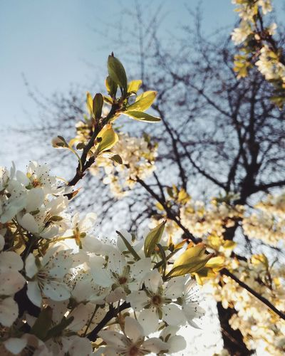 Spring is coming 🌼 Nature Growth No People Springtime Outdoors Almond Tree Day Beauty In Nature Branch Tree Close-up Classic Plant Freshness Beauty In Nature Colorplay Sunset Landscape Flower Nature Tree Abstract Blue Sky Wonderful Sunset