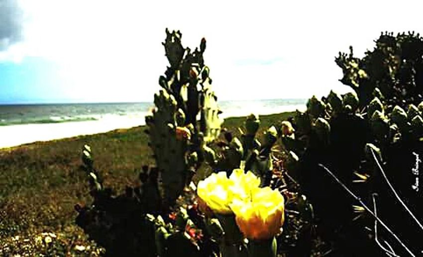 Cactus Flower Flordecactus Flower Collection Beachphotography Nature_collection Saquarema-Rj
