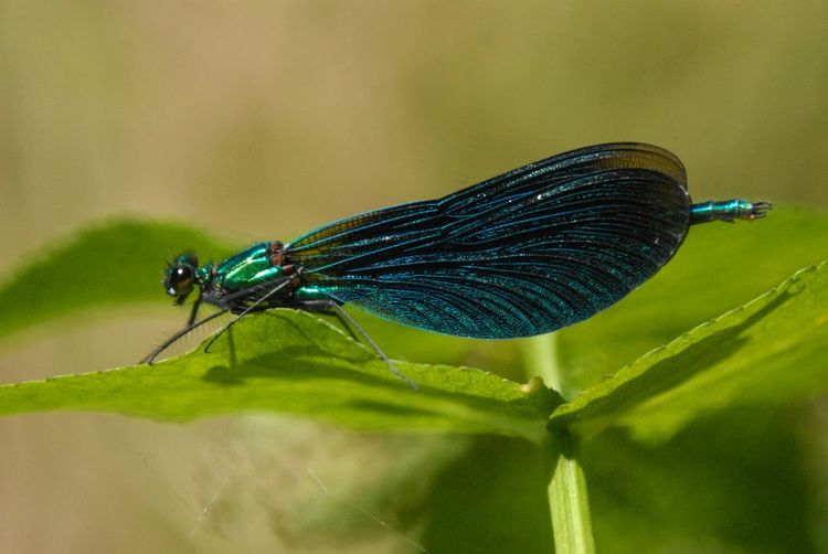 Animal Themes Animal Wildlife Beautiful Demoiselle Close-up Damselfly Invertebrate Nature