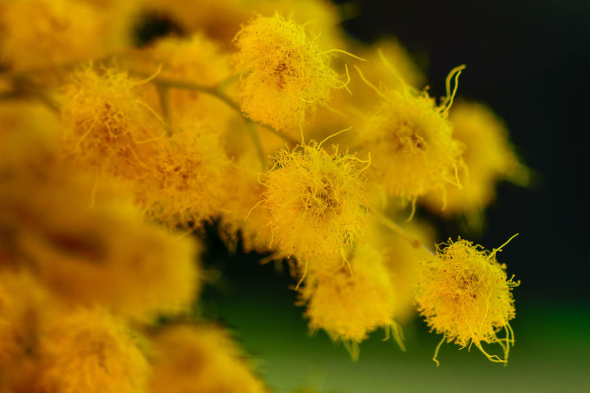 Mimosa = Italy = womensday (Festa Della Donna) Beauty In Nature Close-up Day Depth Of Field Festa Della Donna Flower Flower Head Flowers Fragility Freshness Growth Macro Mimosa Nature No People Outdoors Plant Womensday Yellow Yellow Flowers