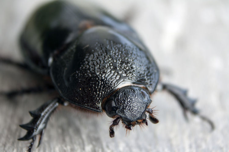 Beetle Beetle Black Color Close-up Insect Macro Macro Photography Macro_collection Nature Selective Focus