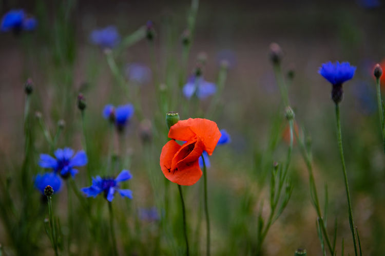 Close-up of purple poppy flowers on field