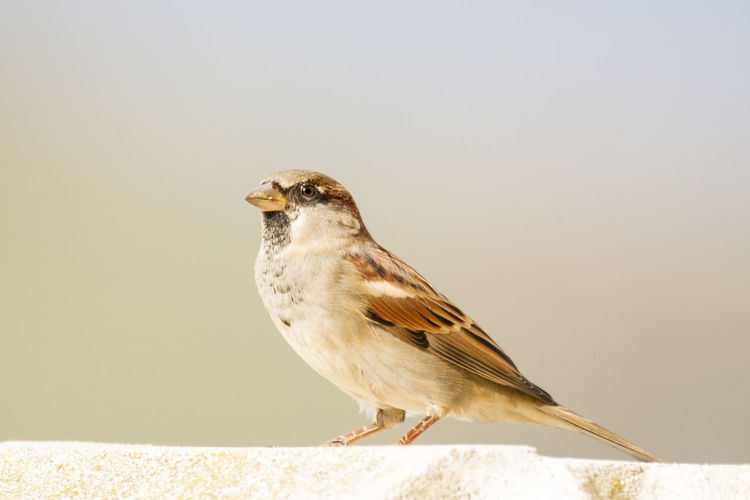 Passer domesticus, Sparrow, Gorrión común. Aves Bird Photography Birds Of EyeEm  Gorrion Nature Photography Animal Themes Animal Wildlife Animals In The Wild Bird Birds Gorrion Comun Naturaleza Nature Naturelovers One Animal Outdoors Passer Domesticus Sparrow Sparrow Bird Sparrows Be. Ready.