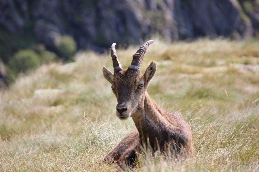 Bergamo Orobie Steinbock Animal Wildlife Animals In The Wild Antler Beauty In Nature Deer Female Field Grass Herbivorous Mammal Nature No People One Animal Orobian Alps Outdoors