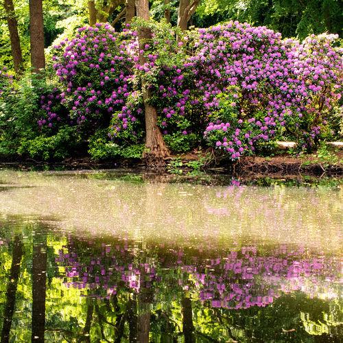 Purple flowering plants by lake