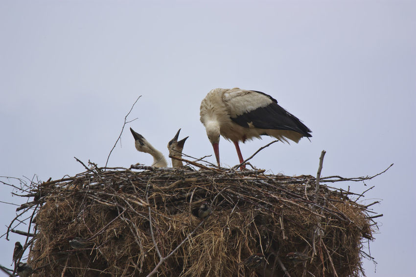 White stork with her chicks Animal Themes Animals In The Wild Bird Bird Nest Birds Clear Sky Cormorant  Dalmatian Pelican Egret Endangered Species Greece Kerkini Lake Lake Kerkini Low Angle View Meteora Monastery Old One Animal Perching Rock Tessaglia Vertebrate Wildlife Zoology
