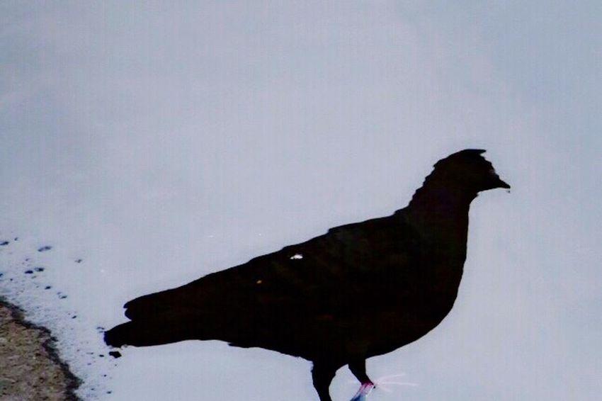 Shadow River Bird Bird Photography Birds_collection Birds Birdwatching お散歩Photo Pigeon 足だけ本物(๑ت๑)