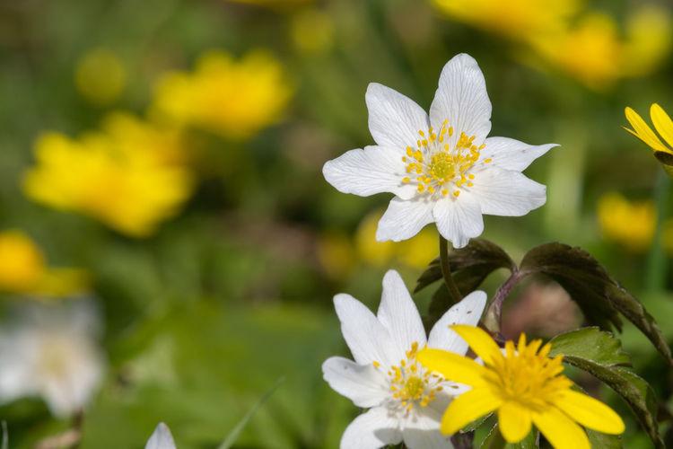 Wood anemone flowers in bloom in a meadow