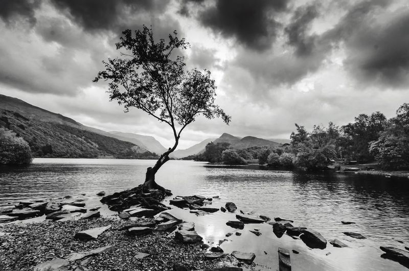 Tree growing at llyn padarn against cloudy sky
