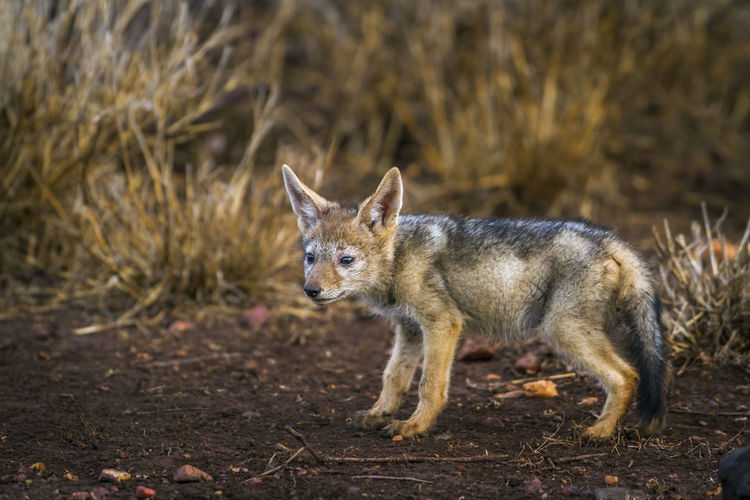 Jackal against plants in forest
