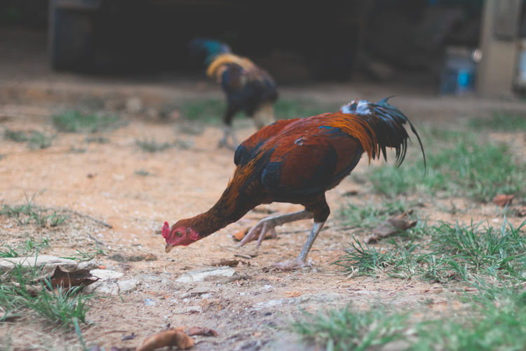 Roosters eating grain rice as food.