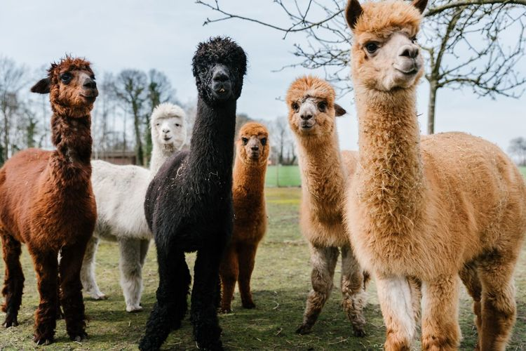 Llamas!!! Togetherness Llamas Alpacas Nature EyeEm Best Shots The Week Of Eyeem Netherlands Nunspeet Standing Animals Warm Clothing Colors Outdoors Field Full Length This Is Family