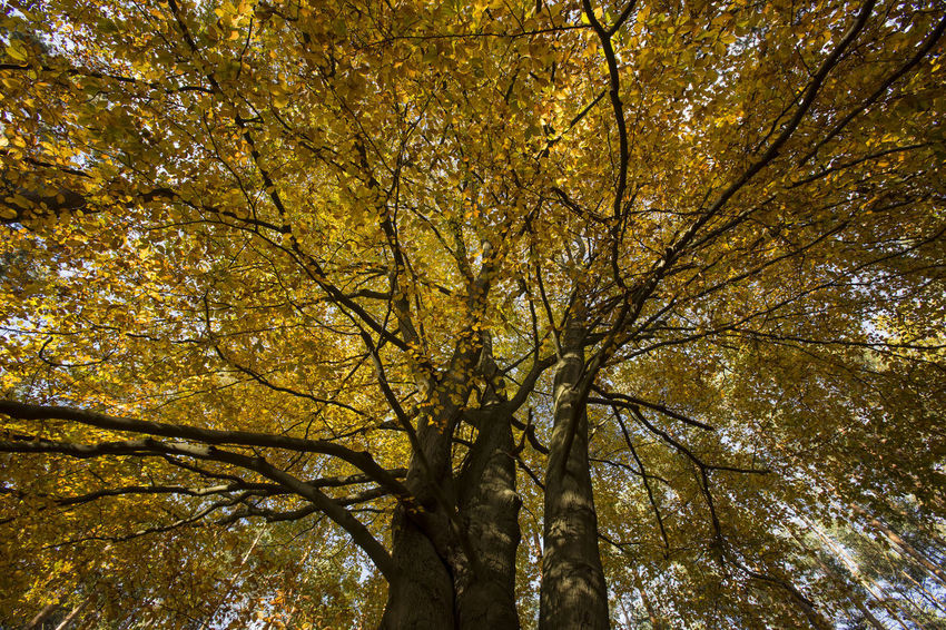 Look up into a huge treetop with yellow leaves Yellow Leaves Autumn Backgrounds Beauty In Nature Branch Change Day Fall Full Frame Growth Leaf Looking Up Low Angle View Nature No People Outdoors Plant Plant Part Tranquility Tree Tree Canopy  Tree Trunk Treetop Trunk