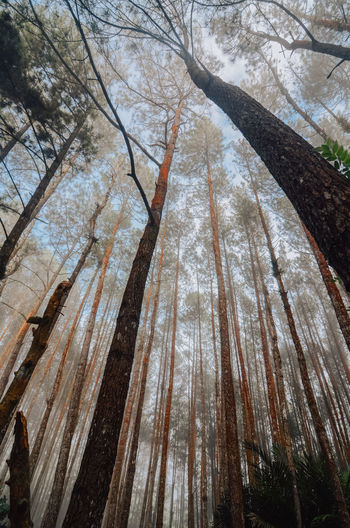 morning mist in the Mangunan pine forest, Yogyakarta Tree Plant Forest Low Angle View Trunk Tree Trunk No People Nature Beauty In Nature Bare Tree Branch Growth Tree Canopy  Tranquil Scene Foggy Hutan Pinus Imogiri Mangunan Jogja Yogyakarta Travel Destinations Mist Morning Outdoors Tall - High