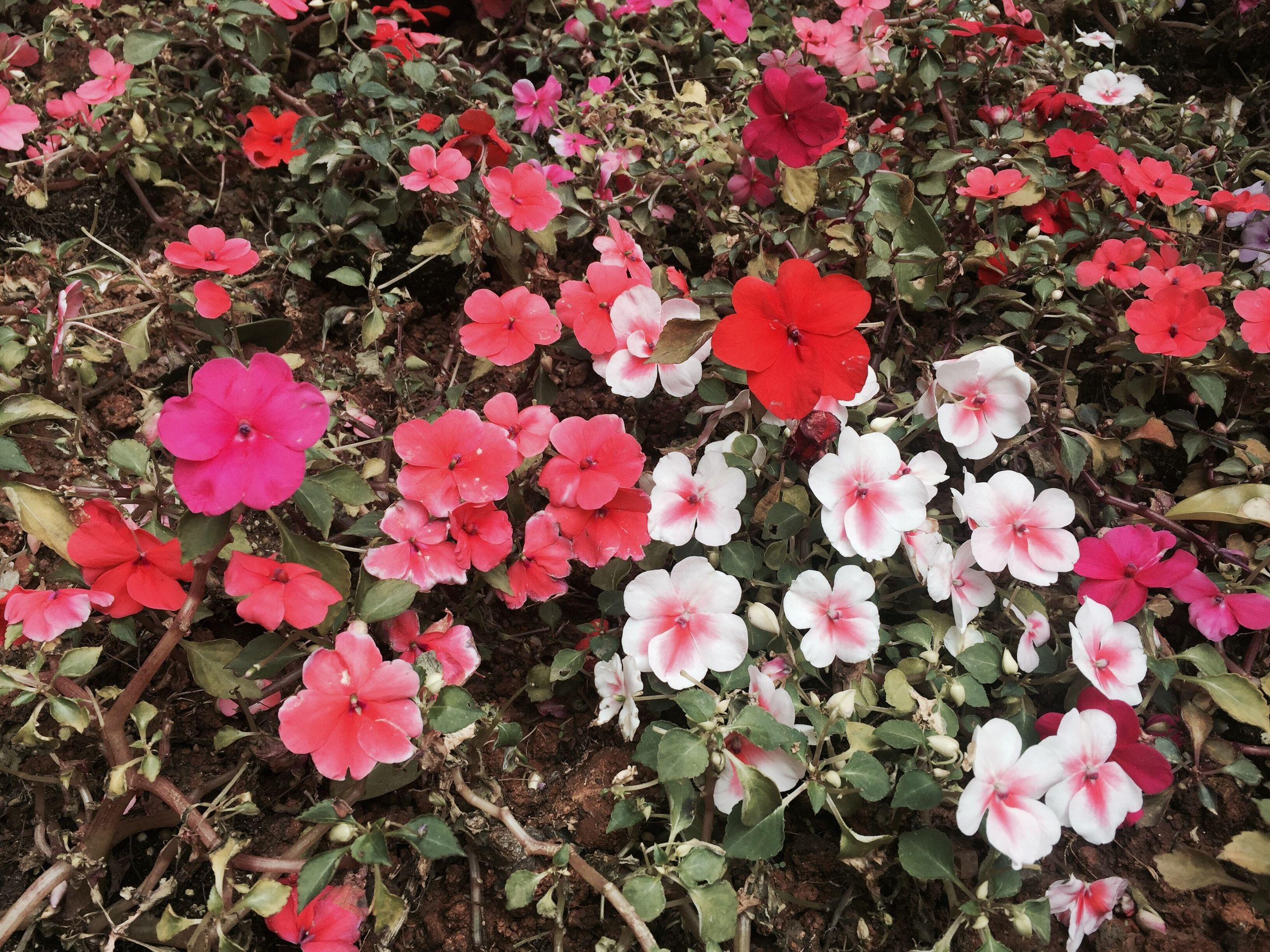 flower, beauty in nature, high angle view, fragility, leaf, growth, nature, freshness, autumn, pink color, petal, season, field, change, plant, red, abundance, tranquility, day, blooming