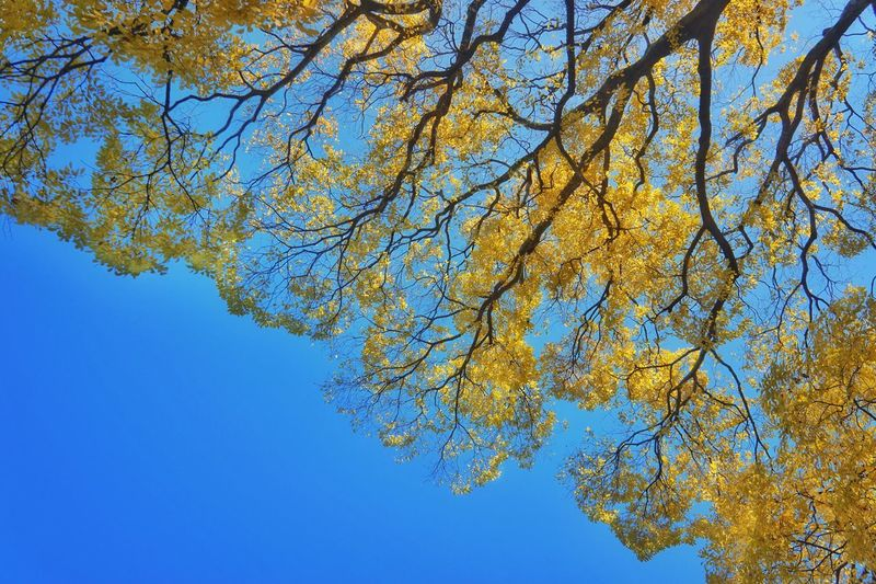 Look up! Way up. Huge trees lovingly maintained by the arborists on the surrounding grounds of the Kyoto Imperial Palace. If a branch is overladen they will prop it up with beautifully crafted bamboo supports. The results are spectacular. Tree Trees Trees And Sky Leaves Clear Sky Blue Low Angle View Fractals Beauty In Nature Yellow Nature Tadaa Community Scenics Tranquility Branch EyeEm Best Shots EyeEm Nature Lover EyeEm Gallery Park Kyoto Japan Japan Photography Kyoto,japan Paint The Town Yellow