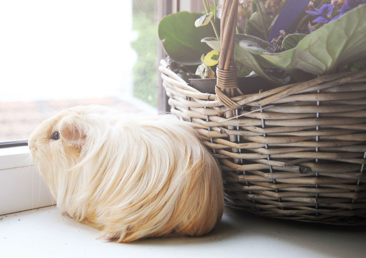 Animal Animals Basket Blond Close-up Cosy Cream Cute Cute Pets Day Daydreaming Flowers Focus On Foreground Guinea Pig Home No People Pets Rodents Selective Focus Sheltie Still Life Sun Window