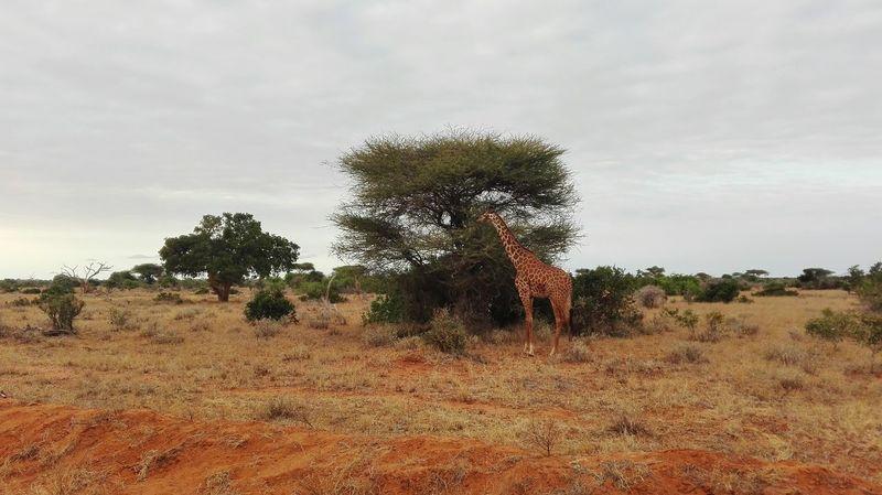 Safari at Tsavo East Safaripark Girrafe  Giraffe Wildlife Wildlife & Nature Wildlife Photography Savannah Goldenmoments 43 Golden Moments
