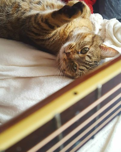 Hanging Out Cats Guitarcat Capokitty Guitar Fretboard Bestfriend Kitty Tabby AdoptDontShop Rescuecat