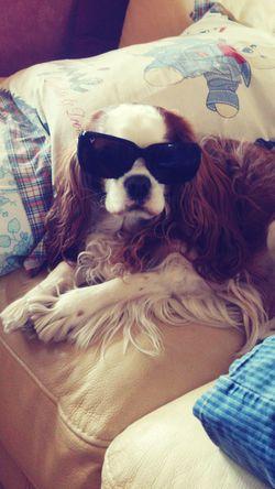 Summer Dogs French Cavalier King Charles Blenheim Cool Dog