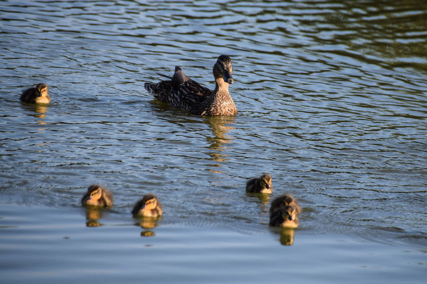 Animal Themes Animal Wildlife Animals In The Wild Bird Day Duck Duckling Gosling Lake Nature No People Outdoors Swimming Togetherness Water Water Bird Waterfront Young Animal Young Bird