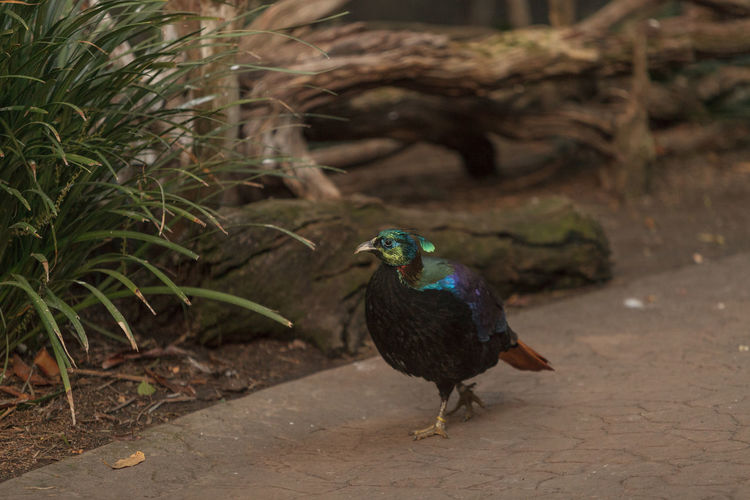 Himalayan Monal, Lophophorus impeyanus, is a colorful bird related to the peafowl and pheasant. Animal Themes Animals In The Wild Beak Bird Birds Focus On Foreground Himalayan Monal Lophophorus Lophophorus Impeyanus Monal Nature No People One Animal Wildlife Zoology