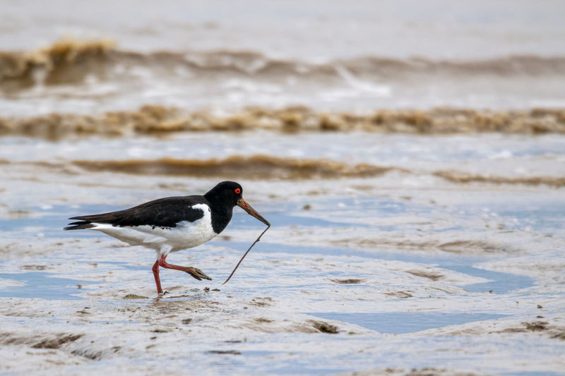 Oyster catcher, haematopus ostralegus, on the mud flats of bradwell on sea, essex, uk