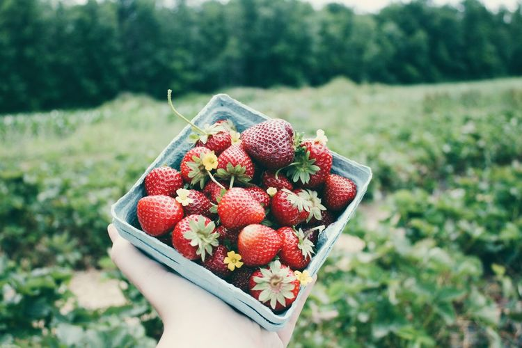 Strawberry Picking in Upstate New York Enjoying Life Strawberries New York First Eyeem Photo