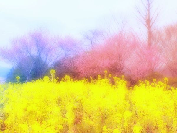 Welcome to Spring field. Relaxing Hello World Cherry Blossoms Sakura Pink 桜 Bokeh Spring Time Spring Colours 春 Spring EyeEm Nature Lover Colors Airy Hazy  Flower Collection Flowers Hazy Days Japan Blossom Dreamfantasy Yellow Flower Airy Flowers Depth Of Field