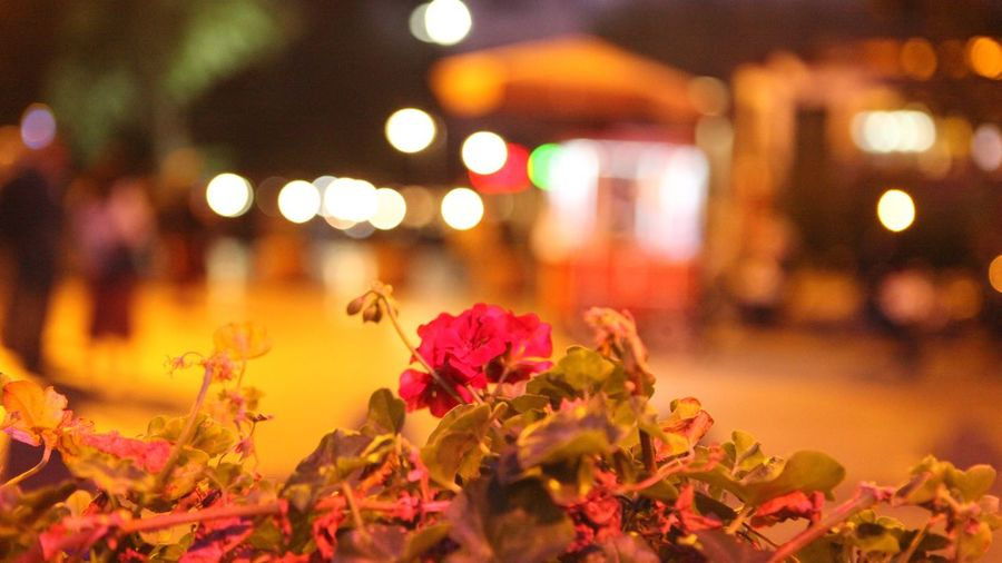 Illuminated Flowering Plant Flower Night Plant Focus On Foreground Architecture City No People Beauty In Nature Nature Leaf Freshness Plant Part