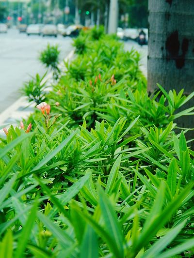 Monsoonmagic Color Of Technology Battle Of The Cities Traffic Lights Cars Urban Landscape Green Color Growth Plant Leaf Close-up Focus On Foreground Nature Selective Focus Day Freshness Fragility Beauty In Nature Plant Life No People Dramatic Angles