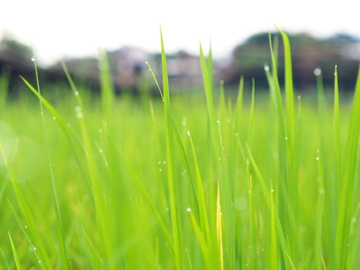 Grass Green Color Nature Freshness Meadow Drop Fragility Outdoors Close-up Cereal Plant Day Growth Wet Agriculture No People Grass Area Rural Scene Backgrounds Wheat Beauty In Nature