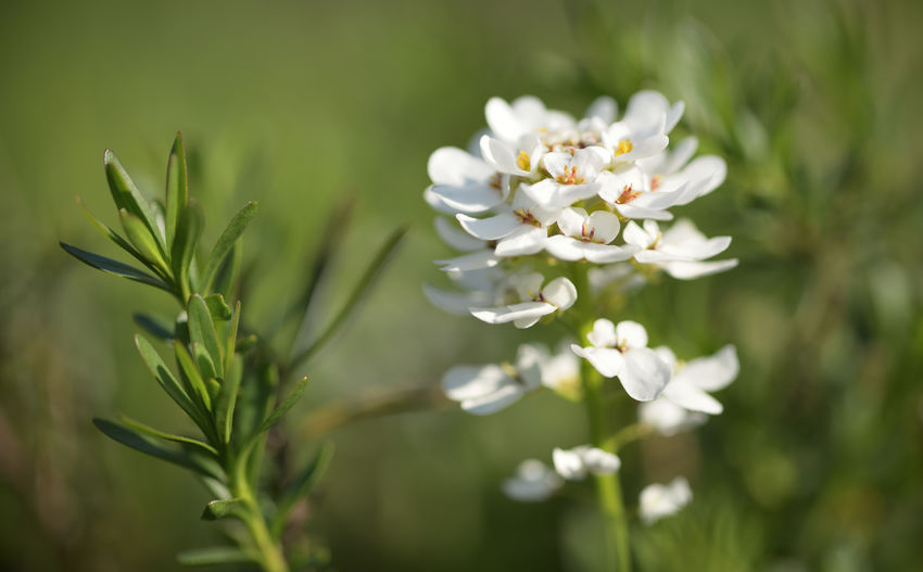 A Capture off a Candytuft Blossom . Iberis sempervirens Flower Flowering Plant Plant Beauty In Nature Fragility Vulnerability  Freshness Growth Nature White Color Close-up Focus On Foreground No People Petal Day Inflorescence Green Color Flower Head Tranquility Selective Focus Outdoors Purity EyeEm Nature Lover Blossom Candytuft Garden Garden Flowers White Flower Nature Photography Botany Spring Flowers Enjoying The View Nikonphotographer Makro Flower