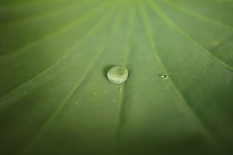water on the lotus leaf Water Backgrounds Leaf Full Frame Refraction Drop Colored Background Wet Close-up Green Color Dew RainDrop Purity Droplet Water Drop Web Dripping Condensation Rainfall Plant Life Leaf Vein Rainy Season Rain Blade Of Grass Focus Spider Web