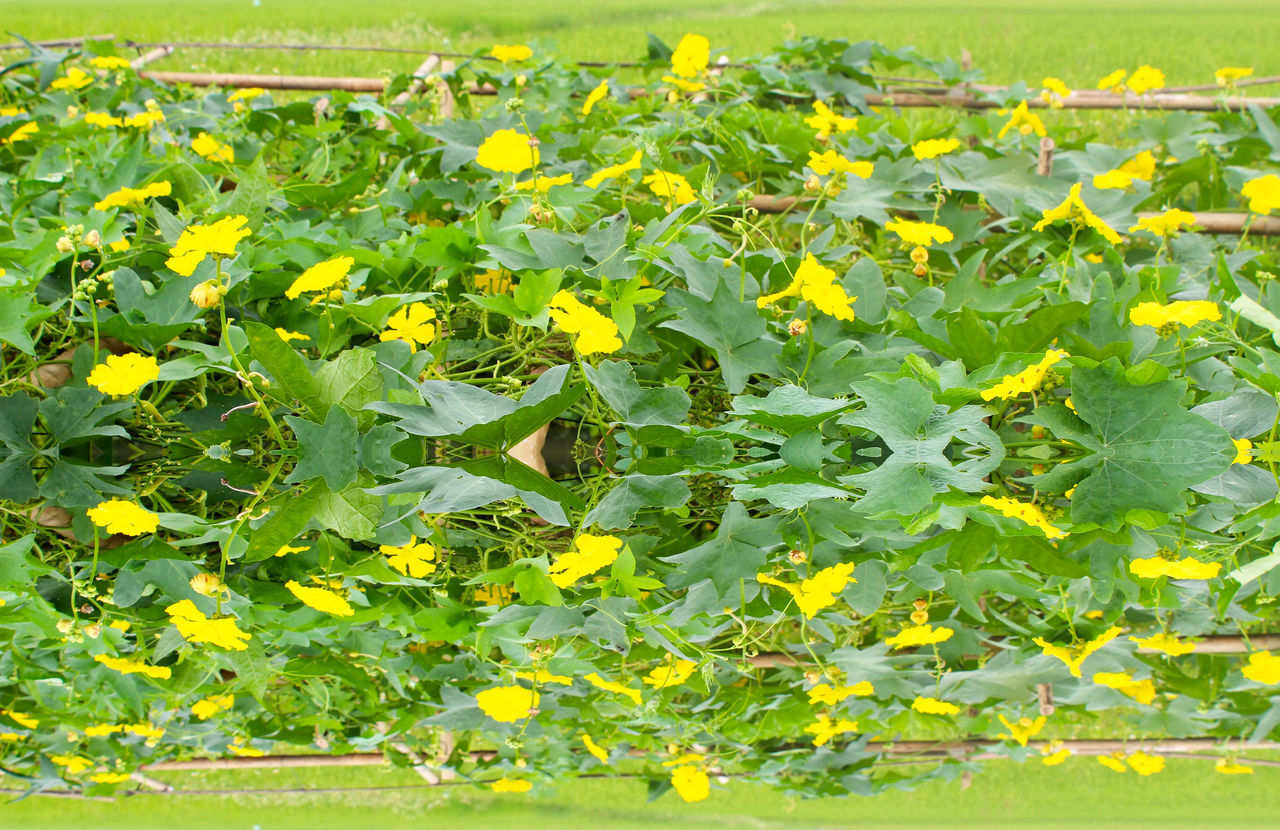growth, plant, yellow, green color, nature, field, freshness, outdoors, day, leaf, no people, fragility, beauty in nature, close-up, flower