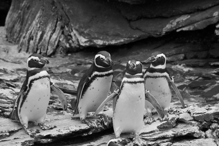 Magellanic Pensuins in Lisbon Magellanic Penguins Acquarium Animal Themes Animal Wildlife Animals Animals In The Wild Aquarium Aquatic Mammal Bird Black And White Day Four Animals Group Of Animals Magellanic Penguin Magellanicus Nature No People Oceanarium Outdoors Penguin Penguins Vertebrate