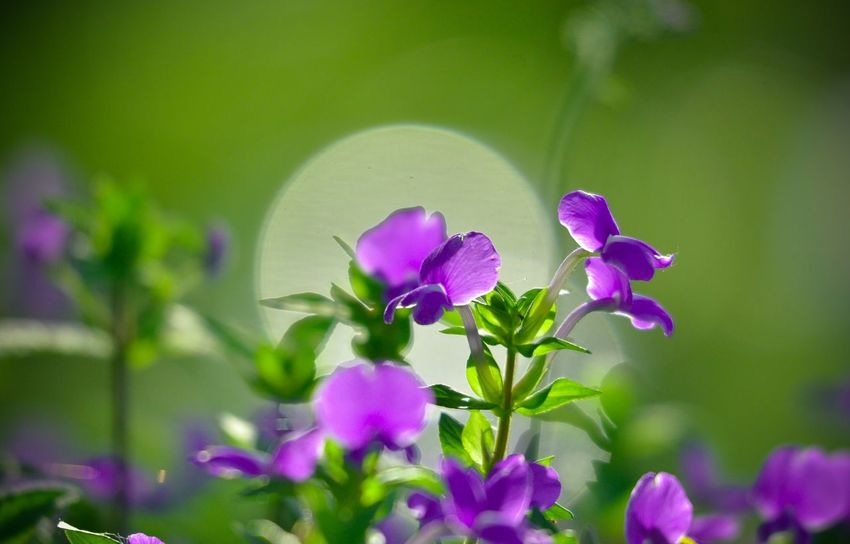 Beauty In Nature Blooming Blossom Botany Close-up Day Flower Flower Head Focus On Foreground Fragility Freshness Green Color Growth In Bloom Nature No People Outdoors Petal Pink Color Plant Purple Season  Selective Focus Springtime Stem